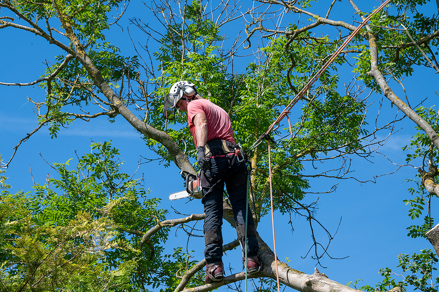 Arborist using safety ropes ready to work up a tree.